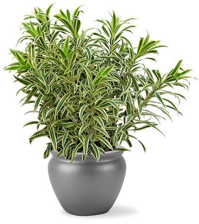 Como ter plantas grandes dentro de casa for Plantas para dentro de casa sombra