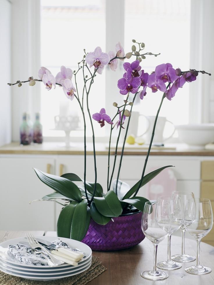 plantar- orquídeas